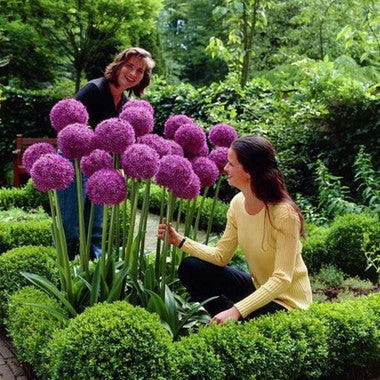 ******* 50+ ***** Giant Allium Purple - For you Enjoyment (Flowers are Edible) -