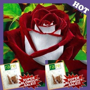 Bag VERY RARE Osiria Ruby Rose Flower Genetically Modified Hybrid 20 seeds