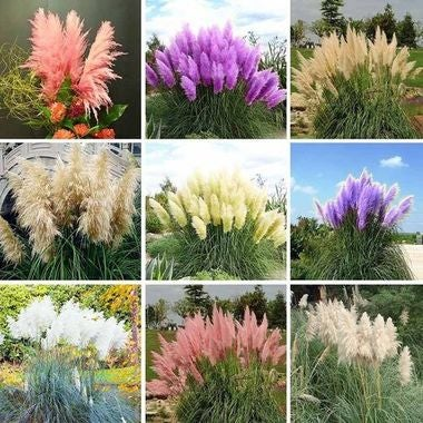 Quick Growing Colorful Pampas Grass Mixed Lot of 300 Seeds with Instructions!