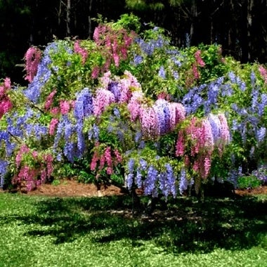 ** 5 ** Multicolor Wisteria Seeds~   Indoor/outdoors