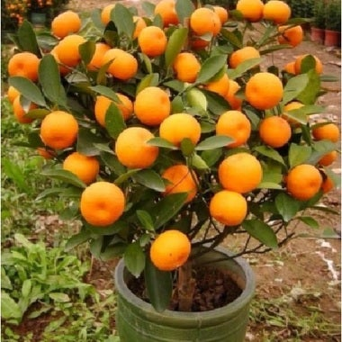 Lot of 10 Orange Indoor/Outdoor Tree SEEDS