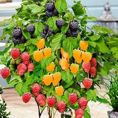 Rare Set of raspberry Trio 20 seeds mix