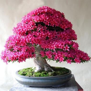Rare Pink Flowers Bonsai Home Garden Seeds 10pcs