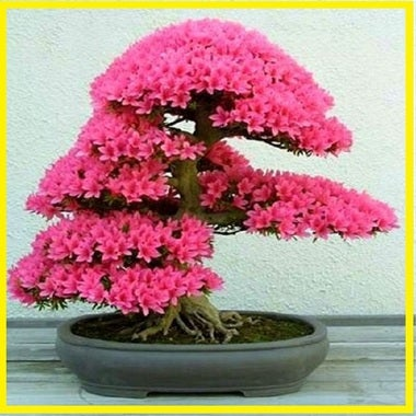 Japanese Beautiful Blossoms Bonsai Tree Seeds - 15seeds/pack