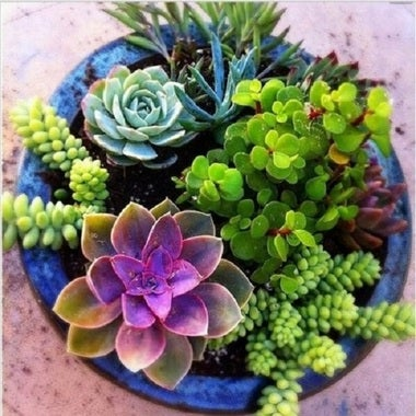 Mix of Beautiful Fleshy Succulents 20 Seeds Home decor, art