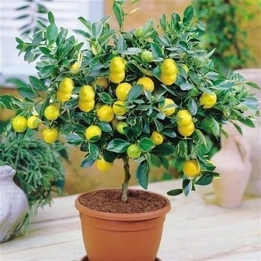 Lemon Tree Indoor/Outdoor 10 seeds home decor
