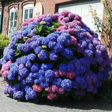 Hydrangea macrophylla Bouquet Rose -20 SEEDS