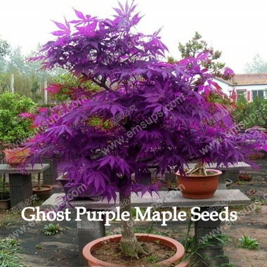 30 Purple Ghost Japanese Maple Tree Seeds -  Can Train as a Miniature Bonsai