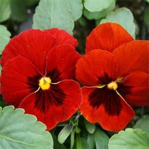 Swiss Giant Pansy -25 seeds