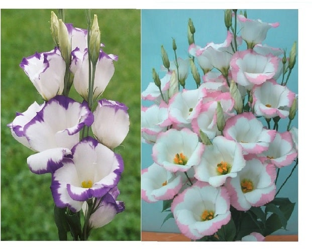 Lisianthus Blue/White and Pink/White Mix - 10 Seeds