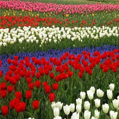 Mix Tulip Seeds 20 seeds