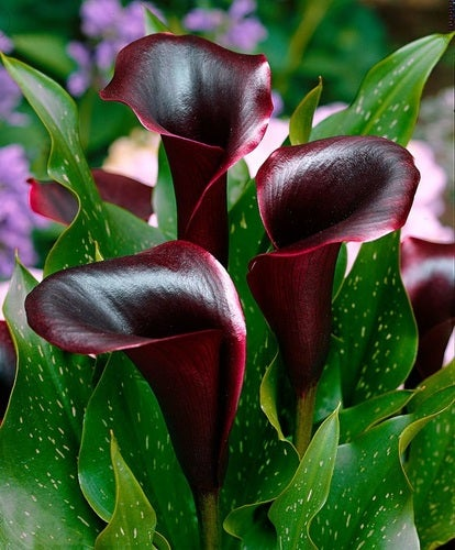Almost Black Calla Lily 20 seeds