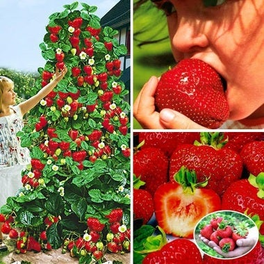 Bag VERY RARE Giant Monster Strawberry Seeds 20 seeds