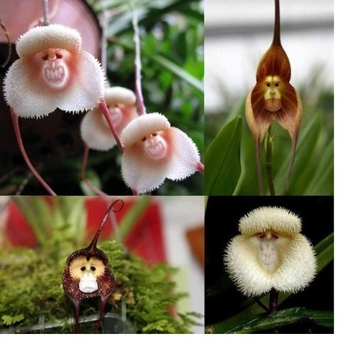 Monkey Face Orchid 20 seeds MIX!