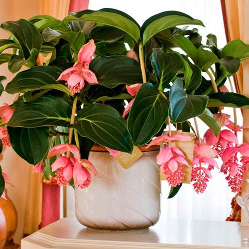 *50* Seeds - Medinilla Magnifica Orchard - Pink Lantern (Pot Not Included)
