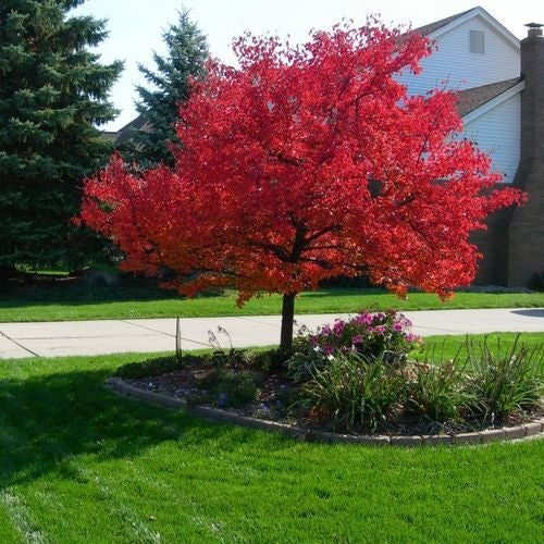 *15* Red Japanese Maple Seeds - Create a Minature Bonsai or Grow a Full Size Tree
