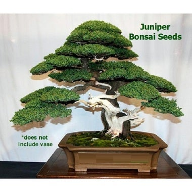 Graceful Timeless Juniper Bonsai 10 Seeds