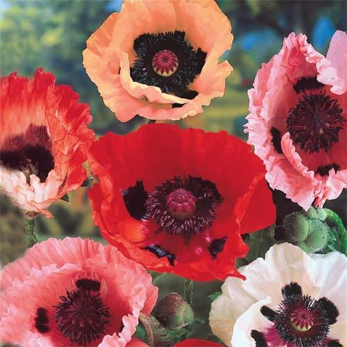 Oriental Poppy Seeds - Mixed Colors 50 seeds