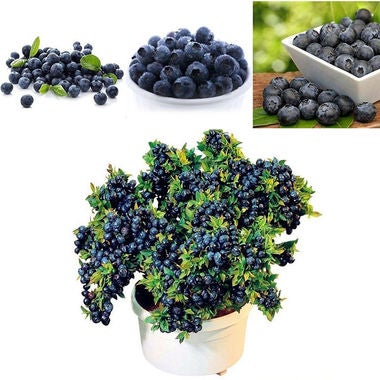 30Pcs Blueberry Tree Seed Fruit Blueberry Seed Potted Bonsai Seeds Plant