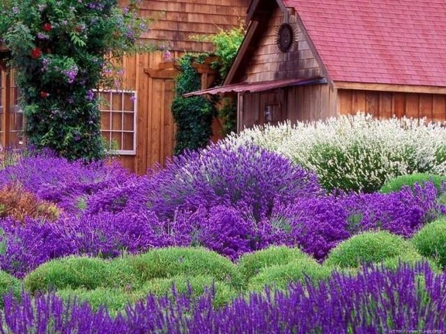 *100* RARE French Provence Lavender Seeds