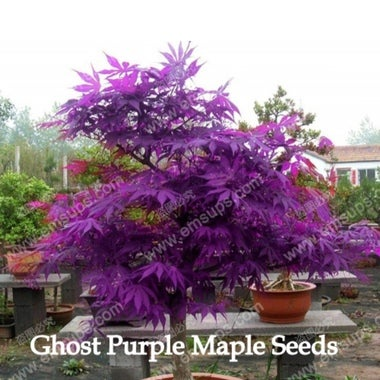 Ghost Purple  Japanese Maple Tree Seeds 10pcs./ bag ( Pot not included)