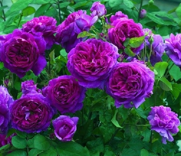 Rose Collection 20 seeds 'Blue Beauty'