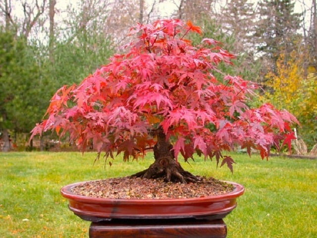 *15* Red Dragon Dwarf Japanese Maple Seeds - Create a Minature Bonsai or Grow a Full Size Tree