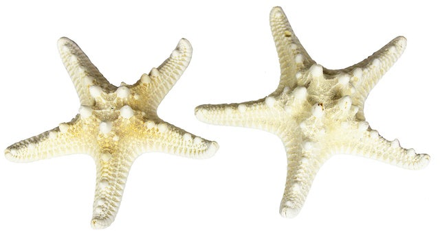 Tropical Beach Armoured Starfish Sea Star Coastal Decor Bleached Set of 2